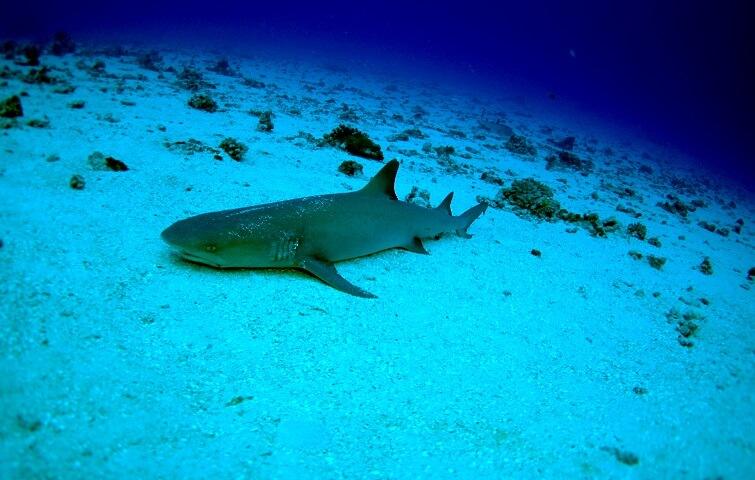 Requin de Gili Mimpang
