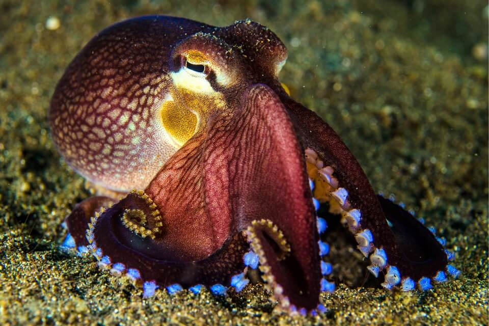 Magnifique octopus à Bali