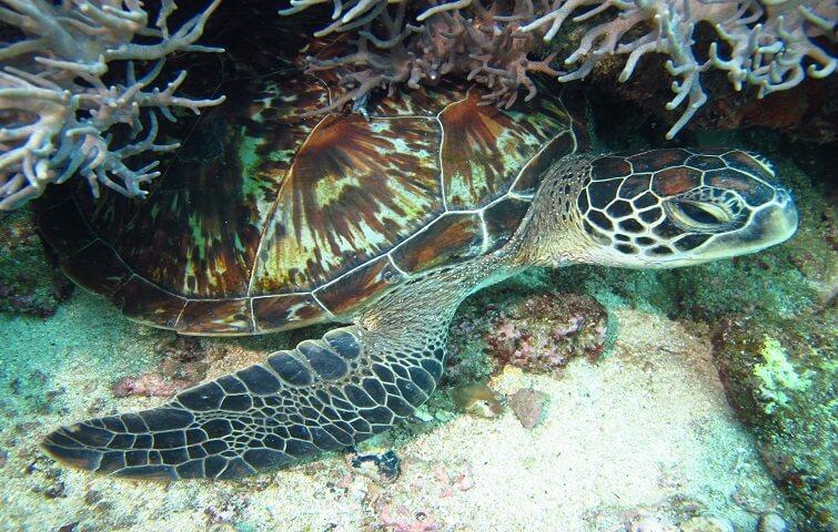 Tortue marine à Bali