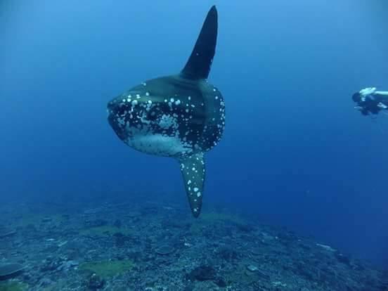 photographie sous marine de Mola Mola