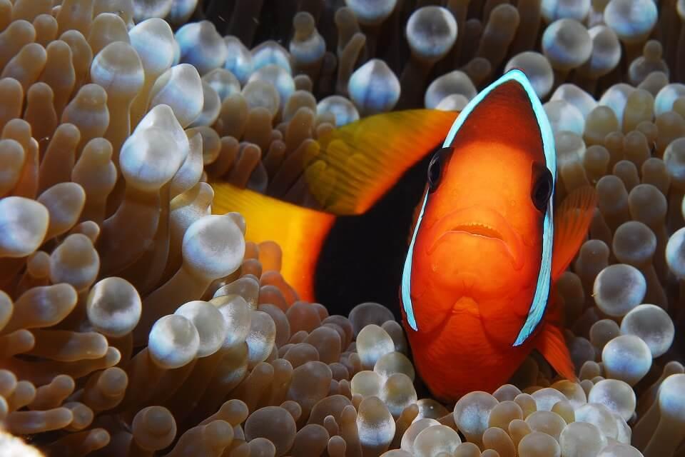 Nemo, petit poisson clown orange, dans une anémone, sur le site de Jeladi Willis