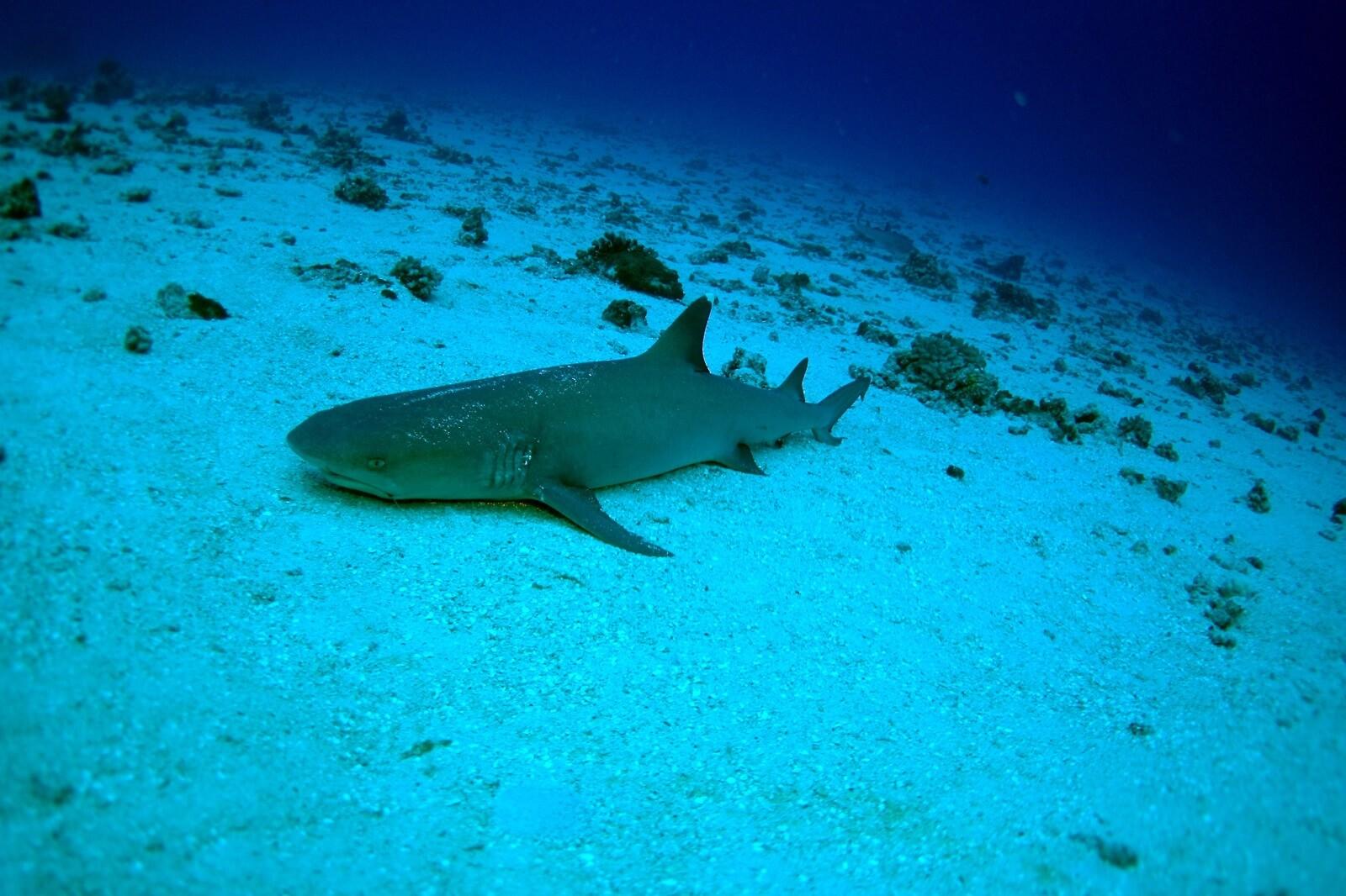 Requins à Gili Mimpang