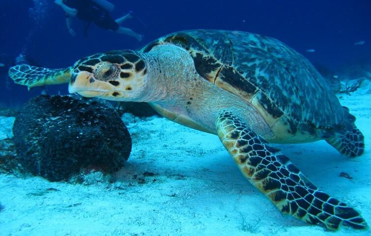 Tortue sous marine à Bali