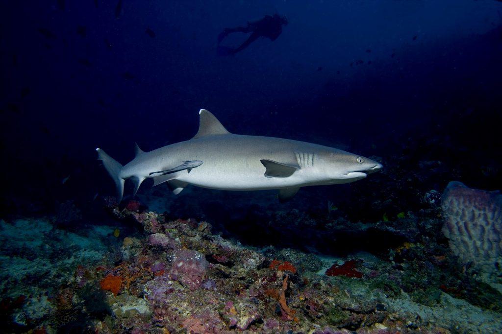 Un requin amical à Padang Bai